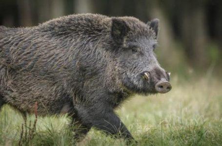 Нови четири диви прасета са с африканска чума в ДГС-Панагюрище, чакат се резултатите от 200 проби