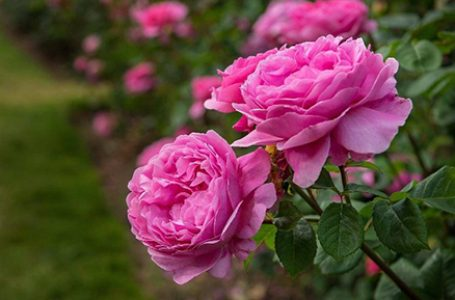 """Ритуал """"Розобер"""" ще бъде възпроизведен в розовите градини край Карлово"""